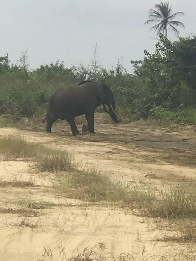 """Elephant spotted in RIvers State [photos]  An elephant has been spotted in rivers state. The giant animal was spotted in Ikuru town, Andoni Local Government Area, yesterday, Wednesday, July 28.    The elephant looked like it came out of the forest briefly before going back into the thick forest.    One Godwin Omayi who shared the photos wrote; """"In Ikuru Town Andoni, today witnessed how nature unveiled its deposit, was beautiful. Ikuru Town home of tourism""""."""