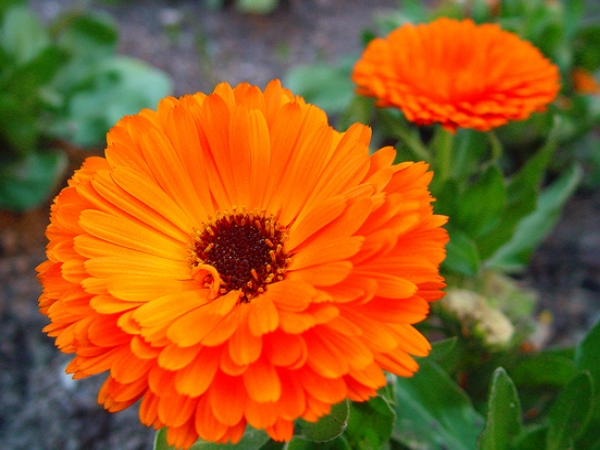 Calendula and Wheat Germ