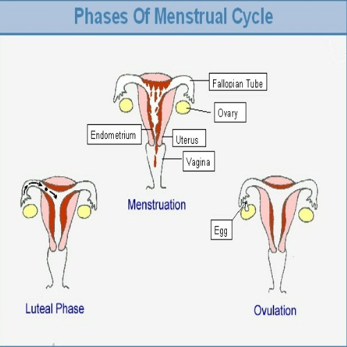 Phases of Menstrual Cycle - Different Stages Of Menstrual ...