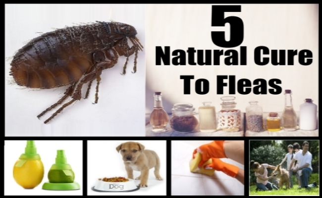Natural Cure To Fleas