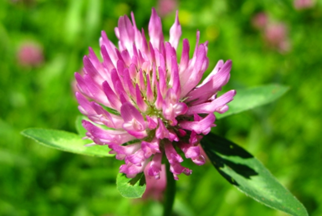 Use Red Clover