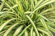 Mala madre, clorofito (Chlorophytum comosum)