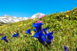 La fleur de la semaine : Gentian, la fleur de la foi