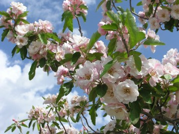 La fleur de la semaine : Crab Apple, la fleur de la purification