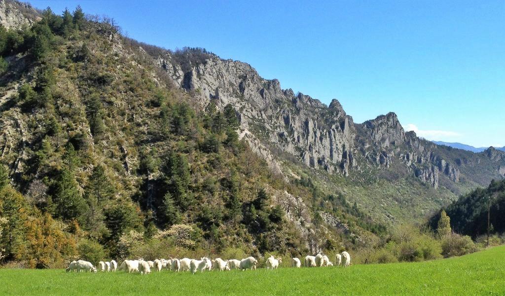 Chèvres dans la vallée de Sigottier