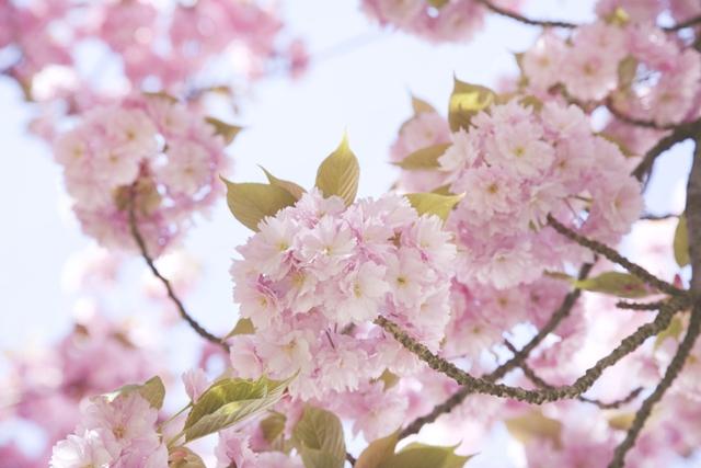 cerisiers en fleur sakura - photo Celine Marks - La Fiancee du Panda Blog Mariage et Lifestyle 4