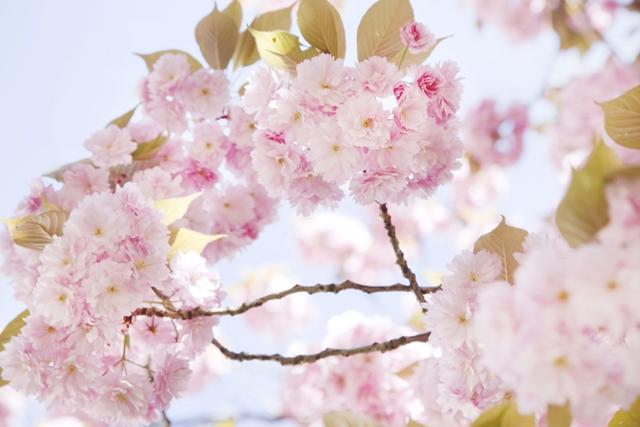 cerisiers en fleur sakura - photo Celine Marks - La Fiancee du Panda Blog Mariage et Lifestyle 9