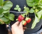 biofiltre-campel-fraises-2017