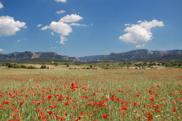 Quietly brilliant: poppies in Matarraña