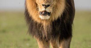 Leone. Foto di Richard Barrett - WWF-UK