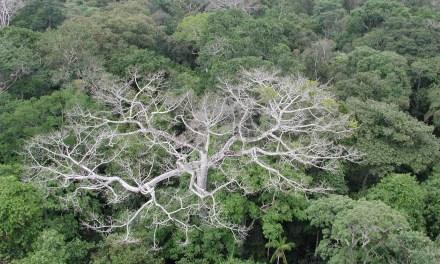 La sécheresse tue la forêt amazonienne – une nouvelle croissance n'émerge pas assez vite pour la remplacer