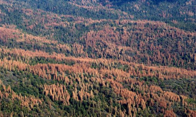 150 millions d'arbres sont morts lors de la récente sécheresse en Californie, et le pire est à venir
