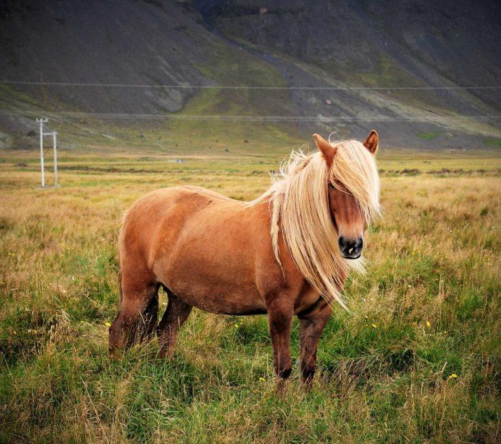 caballo islandia