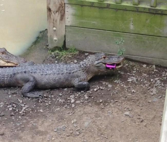 Peor día cocodrilo