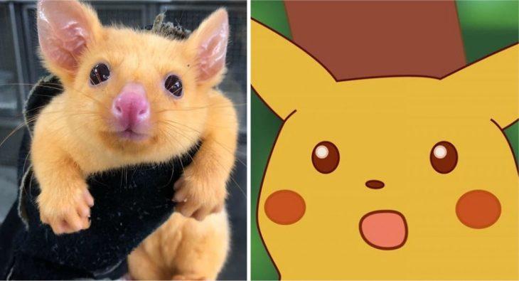 pikachú real