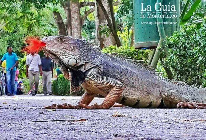 iguanas en la ronda de sinu