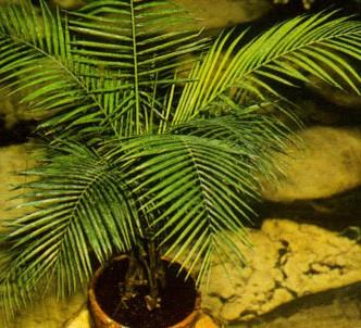 Fotografía de la planta Cocotero