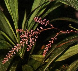 Fotografía de la planta Cordiline crasa