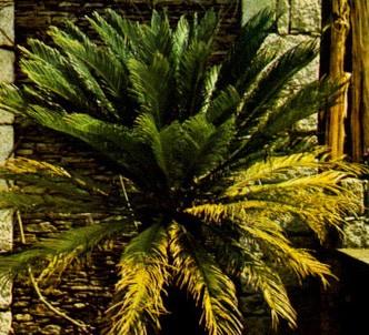 Fotografía de la planta Cica