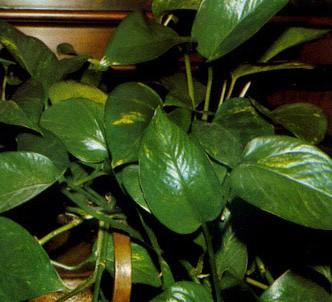 Fotografía de la planta Ecindapso o Pothos Poto
