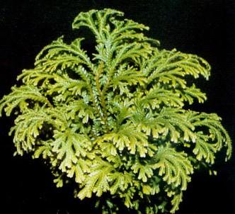 Fotografía de la planta Selaginela