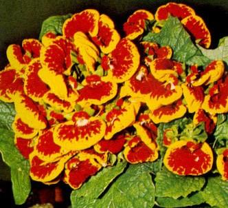 Fotografía de la planta Calceolaria