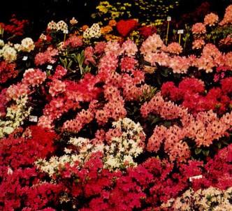 Fotografía de la planta Azalea