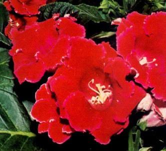 Fotografía de la planta Gloxinia