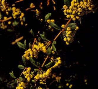 Fotografía de la planta Agracejo