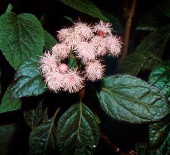 Fotografía de la planta Vainilla