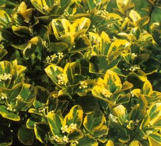 Fotografía de la planta Evónimo del japón