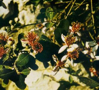 Fotografía de la planta Guayabo del brasil