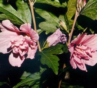 Fotografía de la planta Rosa de siria