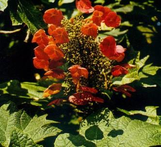 Fotografía de la planta Hortensia de hojas de roble