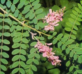 Fotografía de la planta Añil