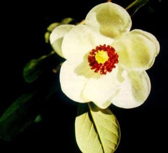 Fotografía de la planta Magnolia de flores pequeñas