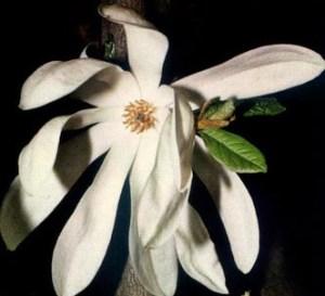 Magnolia estrellada