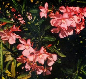 Fotografía de la planta Adelfa