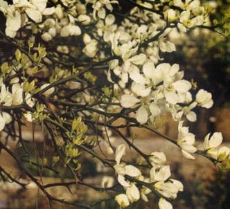 Fotografía de la planta Naranjo amargo espinoso