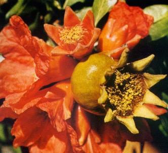 Fotografía de la planta Granado