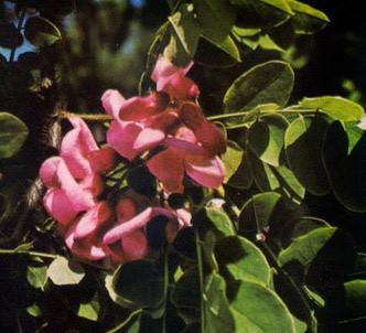 Fotografía de la planta Acacia rosada