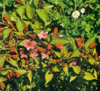Fotografía de la planta Veigelia