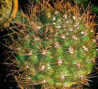 Fotografía de la planta Gimnocalycium espinoso