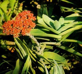 Fotografía de la planta Crasula C.