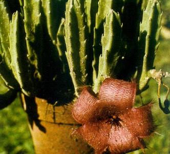 Fotografía de la planta Flor del lagarto