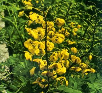 Fotografía de la planta Cesalpina