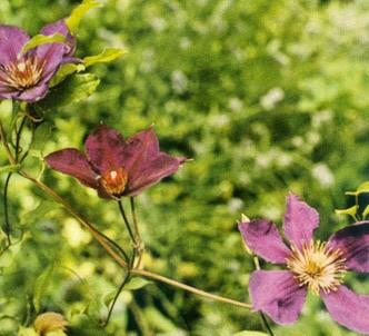 Fotografía de la planta Clemátide jackmanni