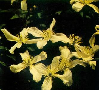 Fotografía de la planta Clemátide montana