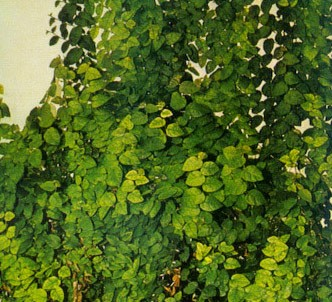 Fotografía de la planta Higuera trepadora