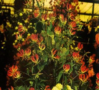 Fotografía de la planta Gloriosa